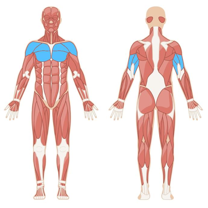 Bandrücken Muskelgruppen